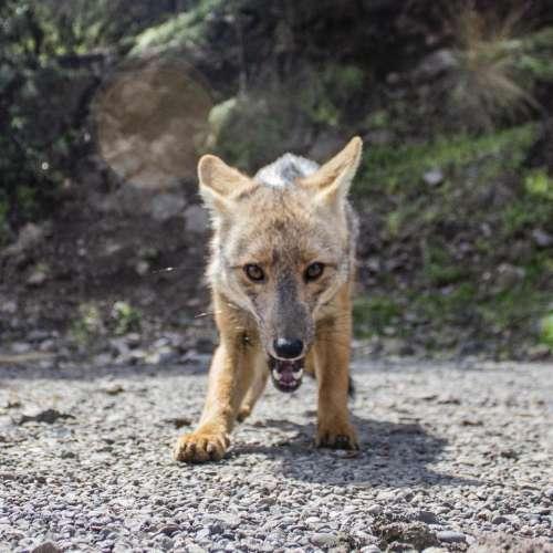 zorro savage fox animal predator