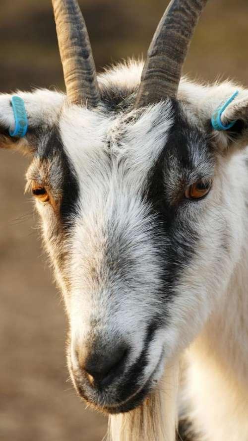animal goat farm animal