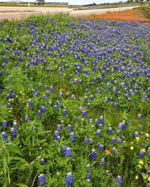 Field of Bluebonnets wild flower flowers floral garden