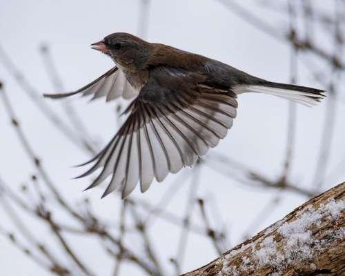 brown sparrow wild bird fly