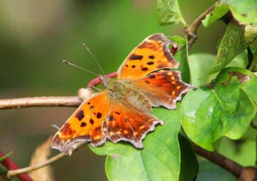insects butterflies painted lady colorful