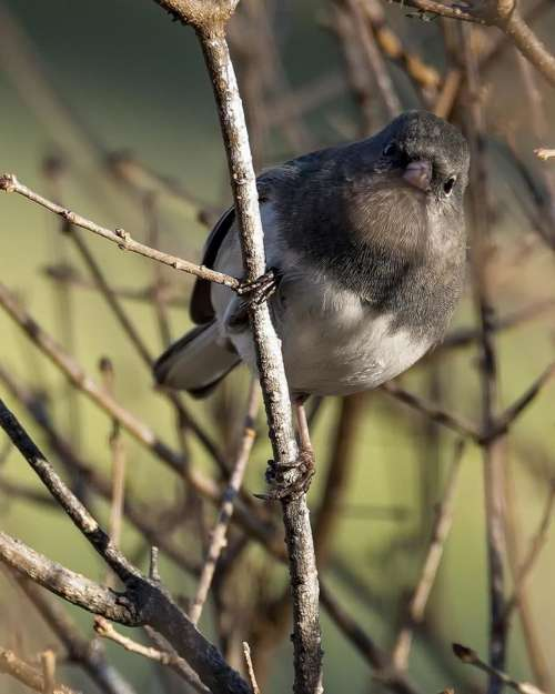 Dark eyed Junco bird wild