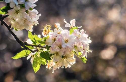 apple flower background blur garden