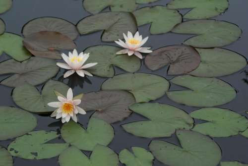 #Lily pad#orchid#water flower #lotus #lilies #pond #lake