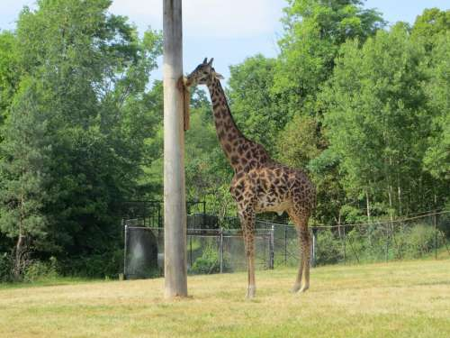 giraffe animals. zoo