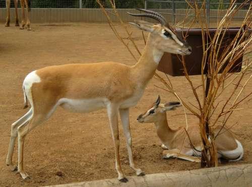 antelope Africa horns mammal animal