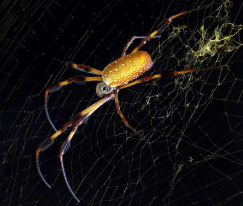golden orb spider weaver arachnid