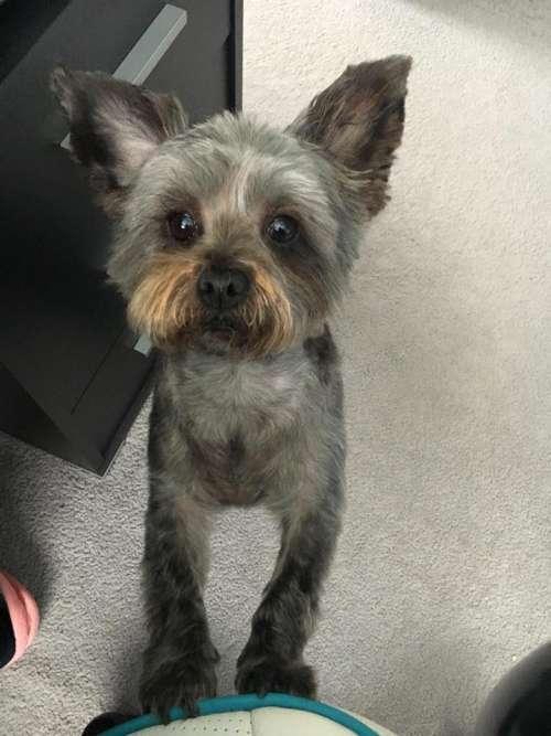 Max is a yorkie poo   #dogs #yorkiepoo #dogs yorkie dog pet