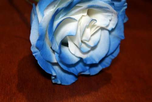 flower flowers rose roses blue