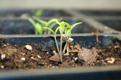 tomato seedlings seedlings vegetable seeds tomato seeds seed starting