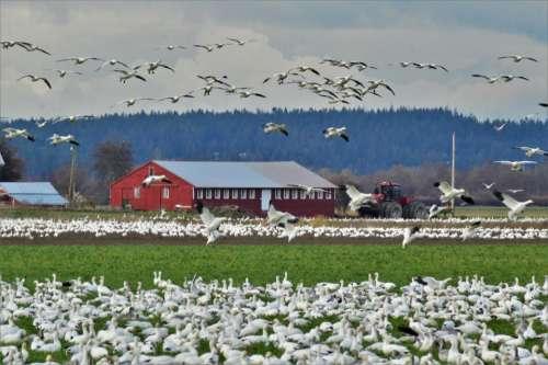 snow geese flock birds farm farming