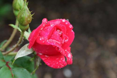 rose garden gardening red rose flowers