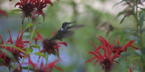 Hummingbird Flower Nature Flight Bird