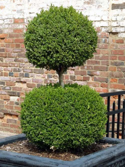 plant tree topiary green round
