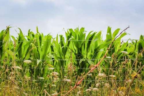 corn maize crops New_Zealand vegetables