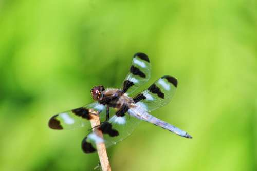 insect dragonfly spotted skimmer wings