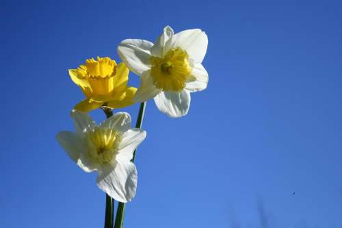 daffodils spring blue sky and flowers narcissus spring flowers