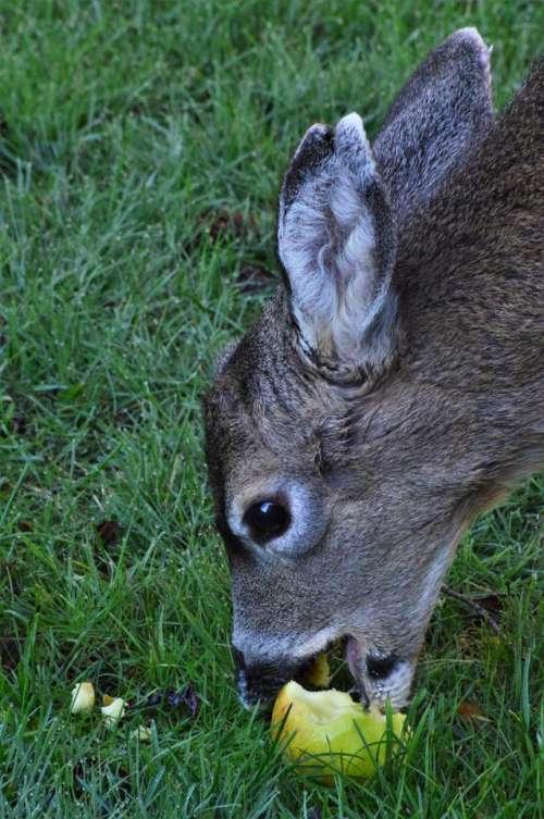 buck fawn deer apple