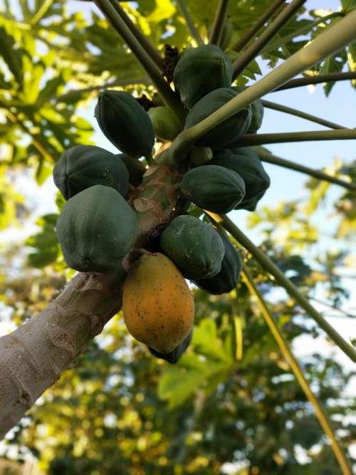 coconut coconuts fruit tree