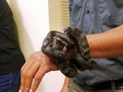 #snakes African-American snake reptile animal