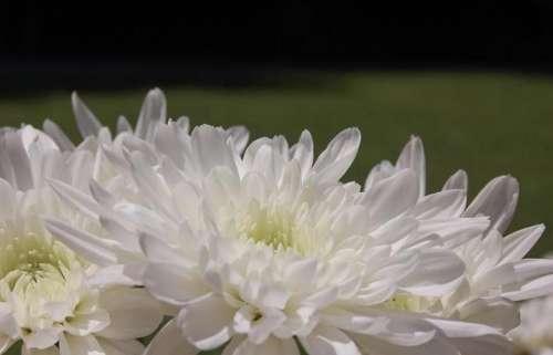 white mum chrysanthemum flower