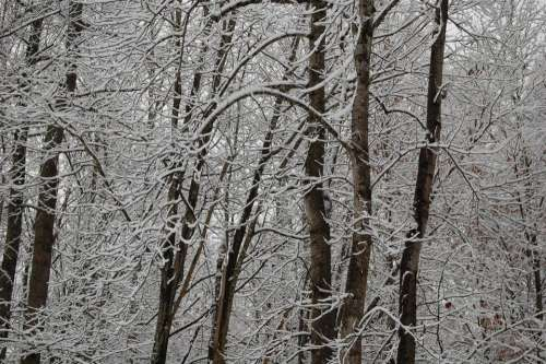 #forest snow winter trees dormant