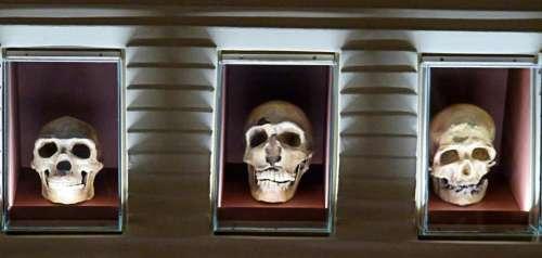 skull bone fossil box hominid
