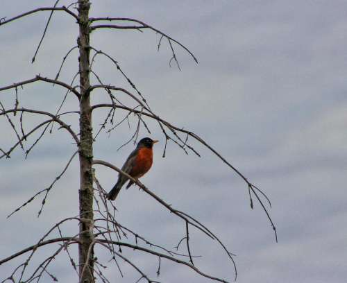 animal bird bird watching american robin