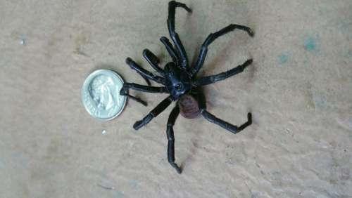 black spider dead arachnid bug