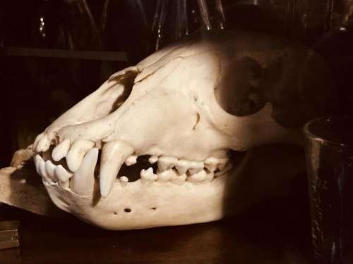skull death bones cat humanskullskeletalskeletonheadfacecraniumbonedead
