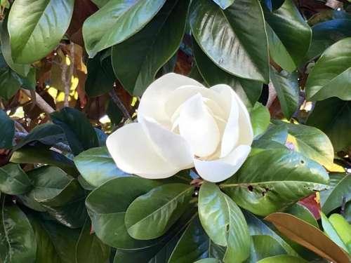 tree blossom fragrant spring Magnolia