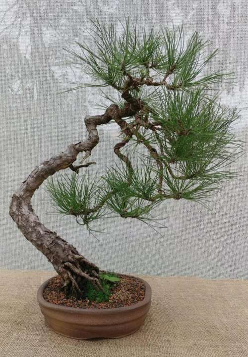 bonsai bonsai tree pine