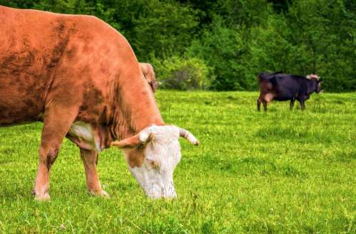 rural cow meadow grazing animal