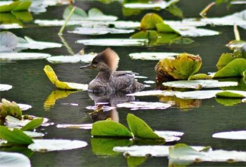 Hooded Merganser duck foul