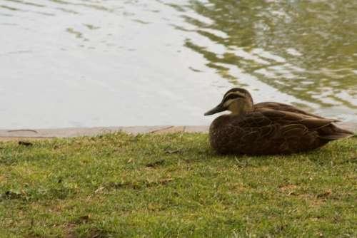 duck bird fowl
