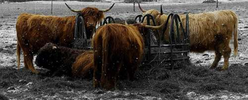 oxen hairy cattle cow horns