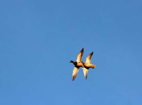 nature wildlife animals birds ducks