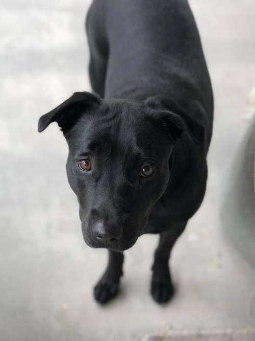 Labrador black lab stare sad loving