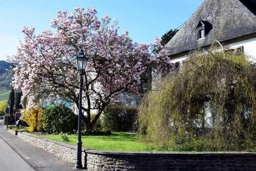 magnolia blossom tree flower pink