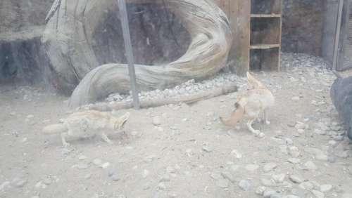 zoo animal fox fennec fennec fox