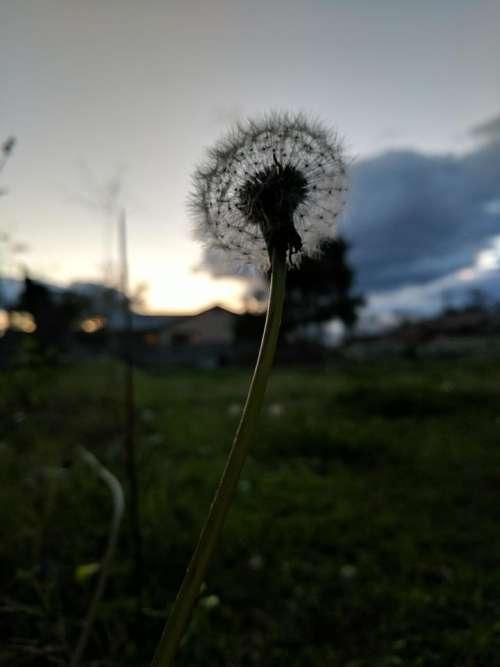 nature dandelion flower weed seeds