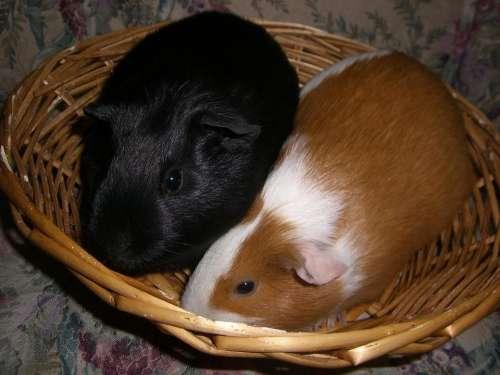 guinea pigs small animal furry basket cute