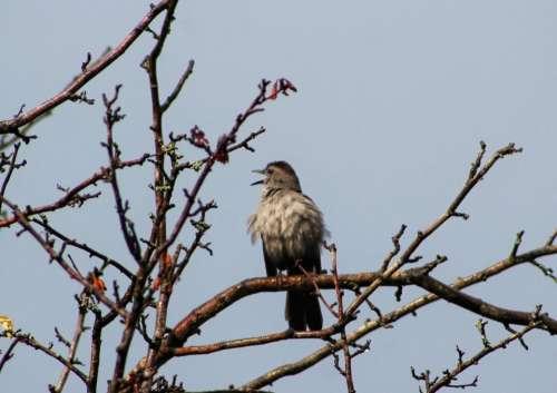 animal bird bird watching catbird song