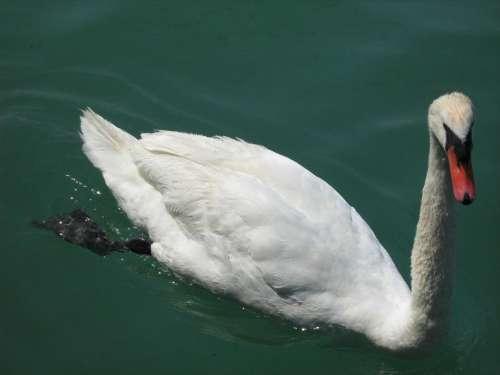 swan bird animal lake water