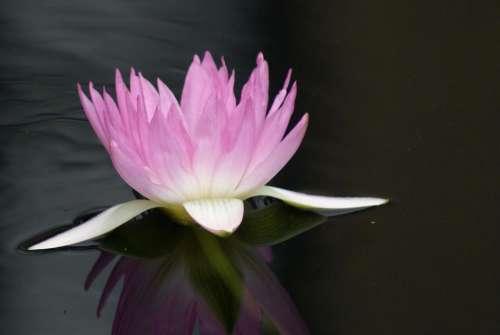 #water lily#lilies#flower#lotus#purple Flower