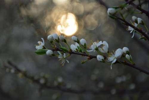 tree sundown spring flower petals