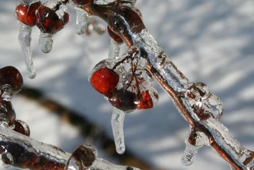 crabapples crabapples in ice ice storm ice snow