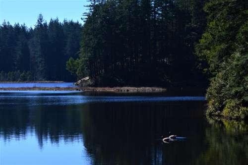 Canadian geese birds wildlife nature lake