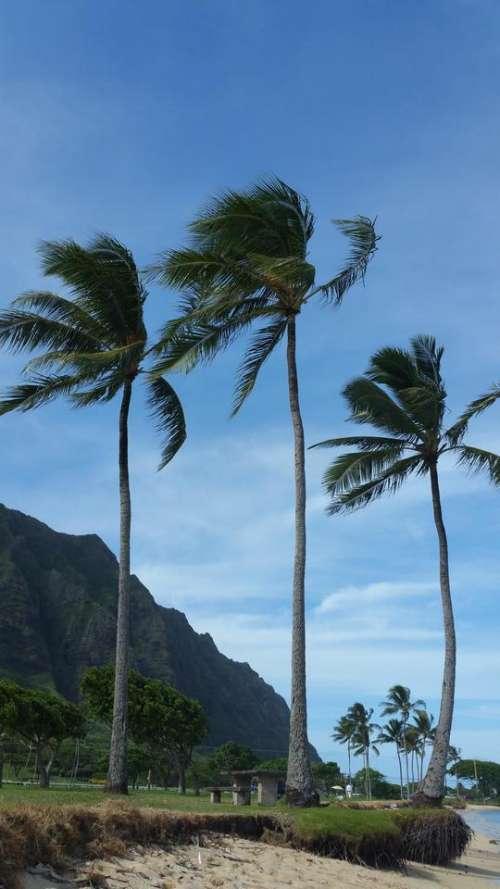 Palm Trees Hawaii North Shore Oahu Aloha