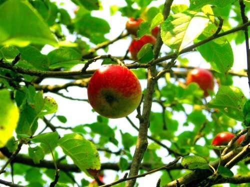 Fruit Apple tree apple